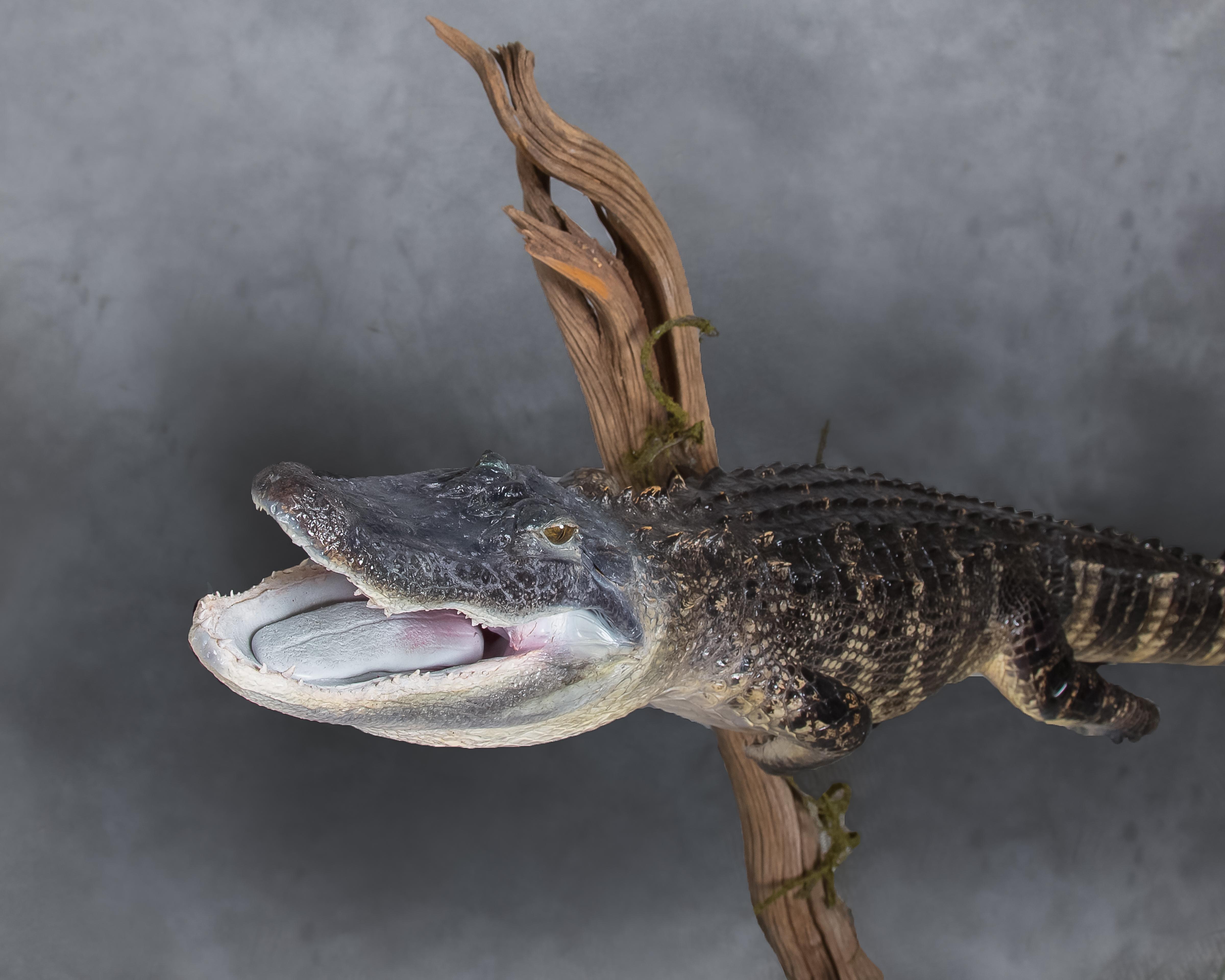 3 Alligator