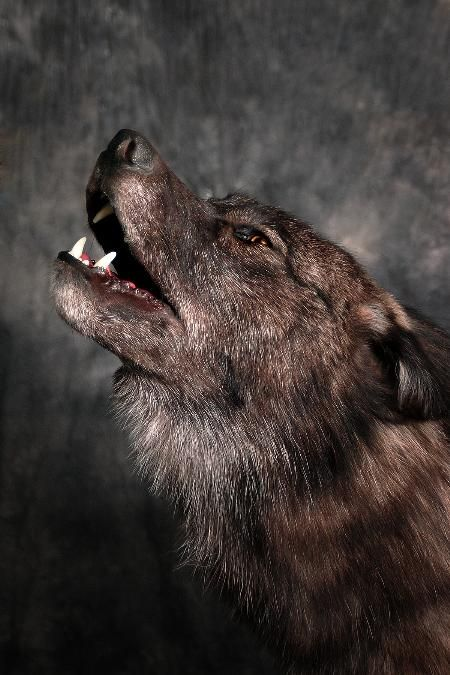 23 Black Wolf Howling