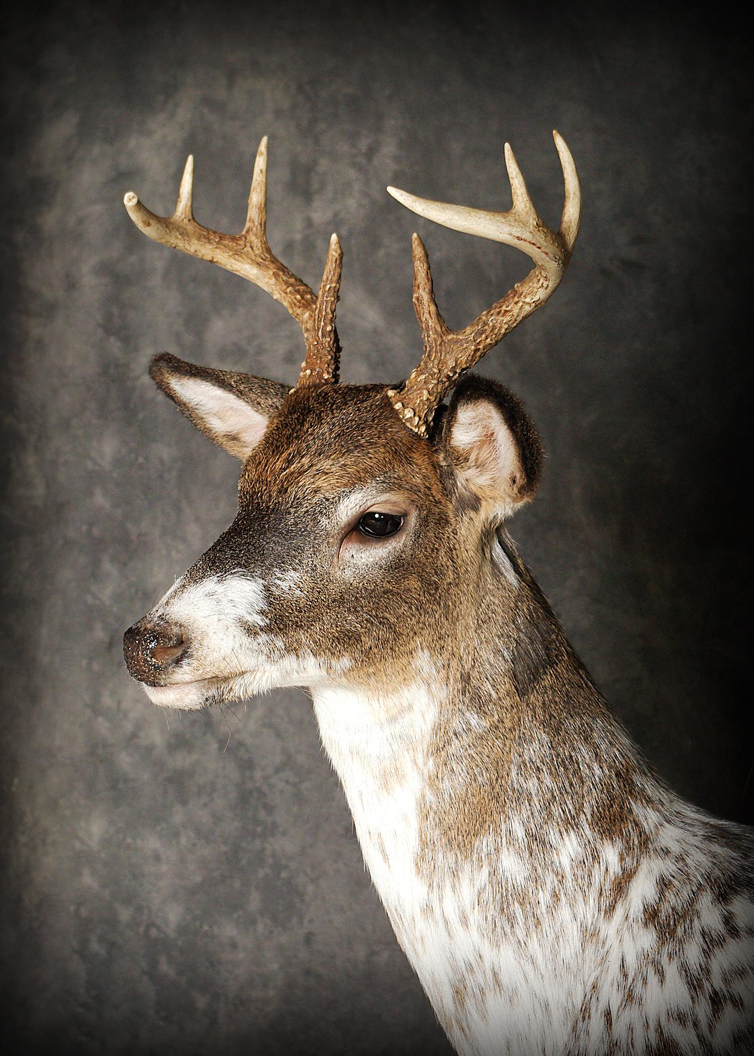 47 Piebald Deer