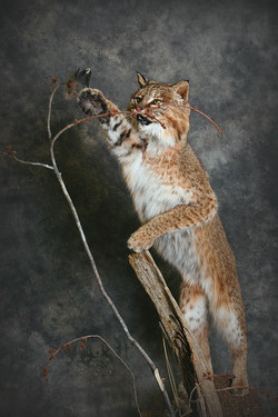 10 Bobcat