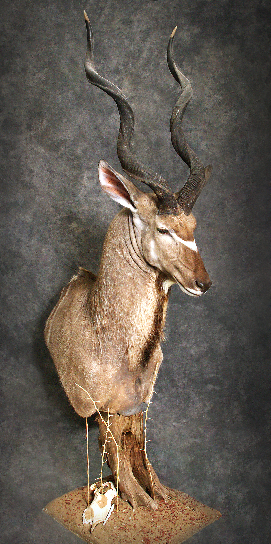 36 Kudu