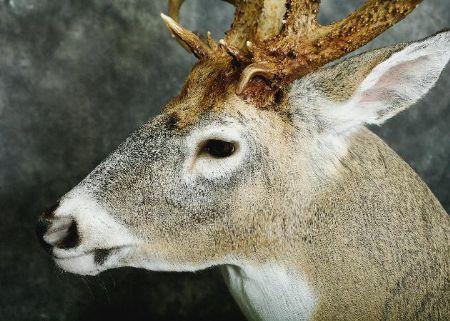 28-amish-buck