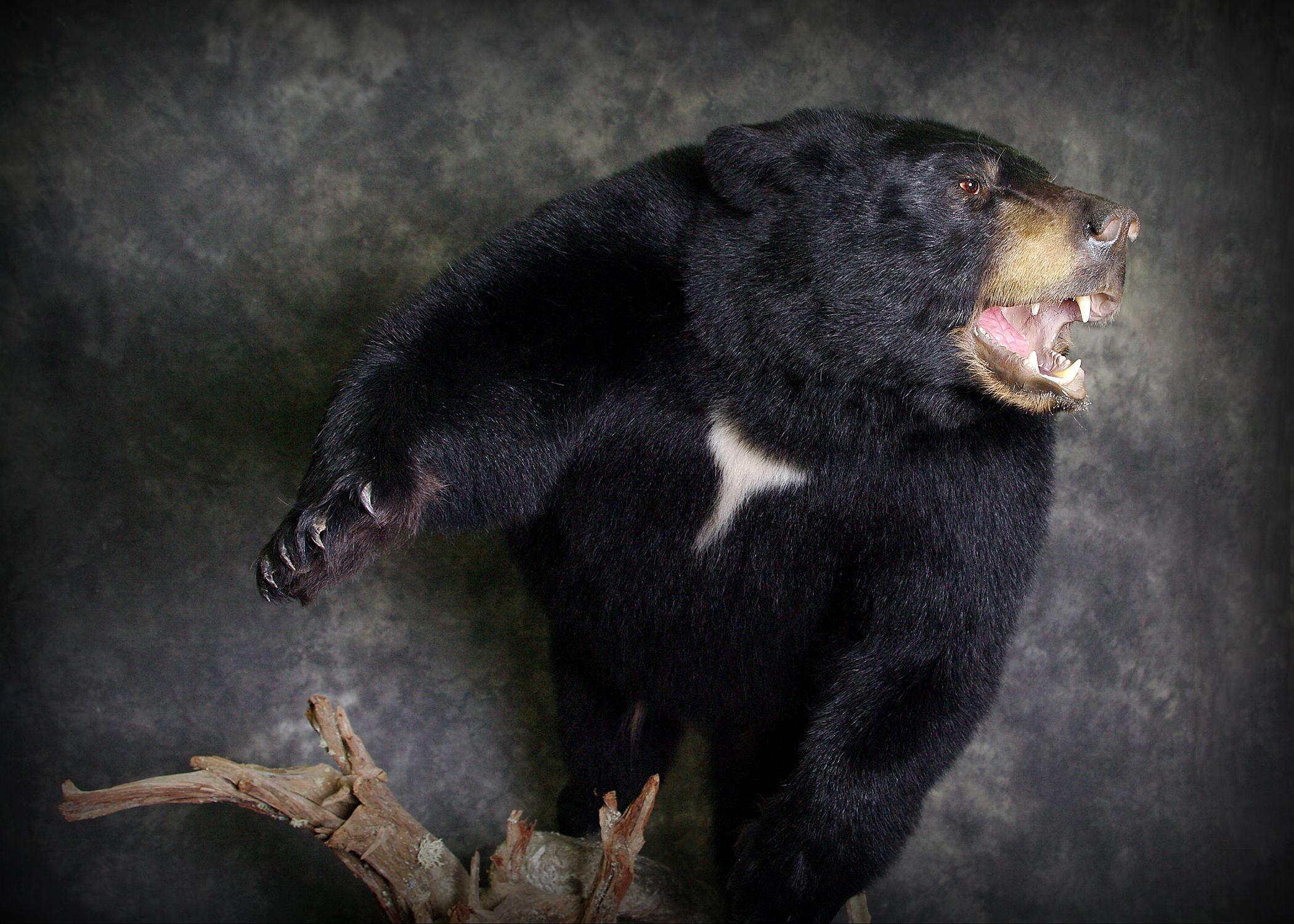 13 Coastal Black Bear