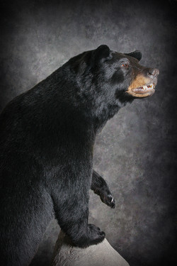 5 Michigan Black Bear