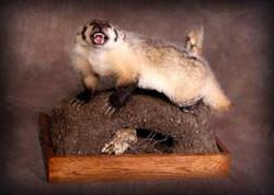 167-badger
