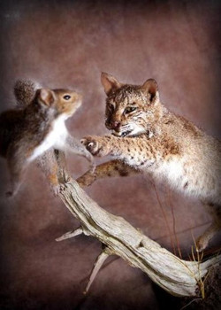 Bobcat | Squirrel