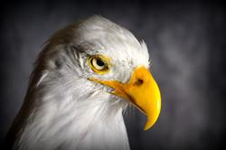 1 American Bald Eagle