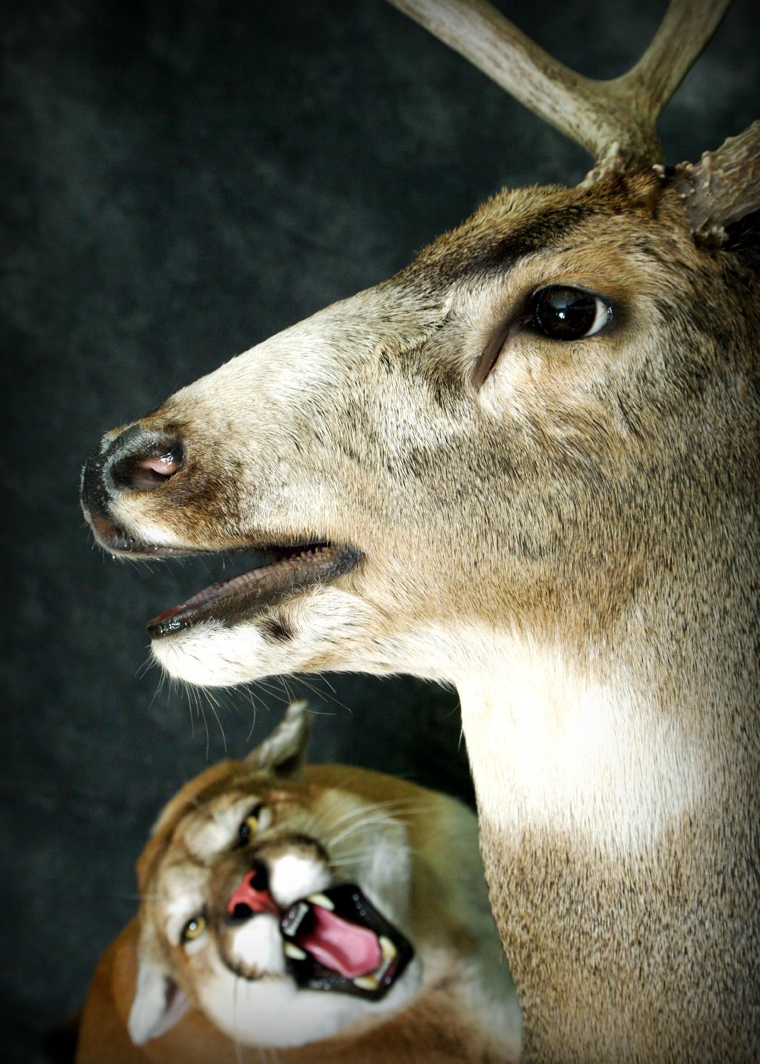 32 Mule Deer