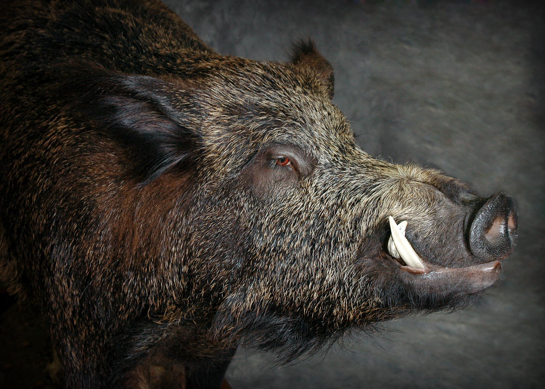 10 Wild Boar