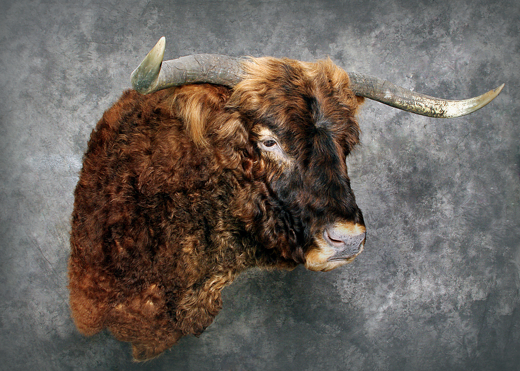 5 Scottish Highland Bull
