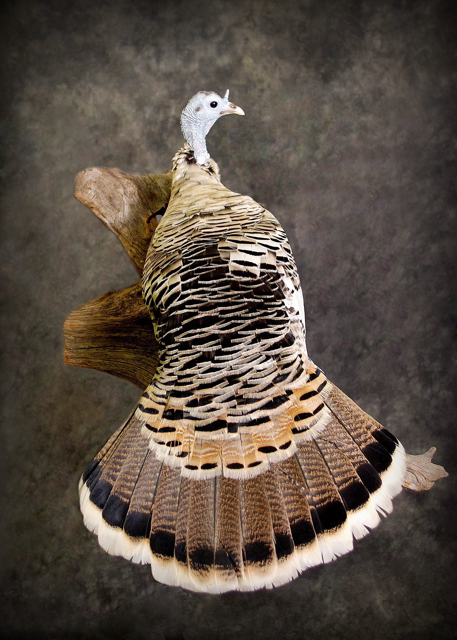 7 White Wild Turkey