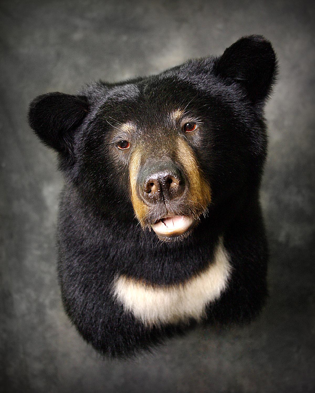 22 Coastal Black Bear