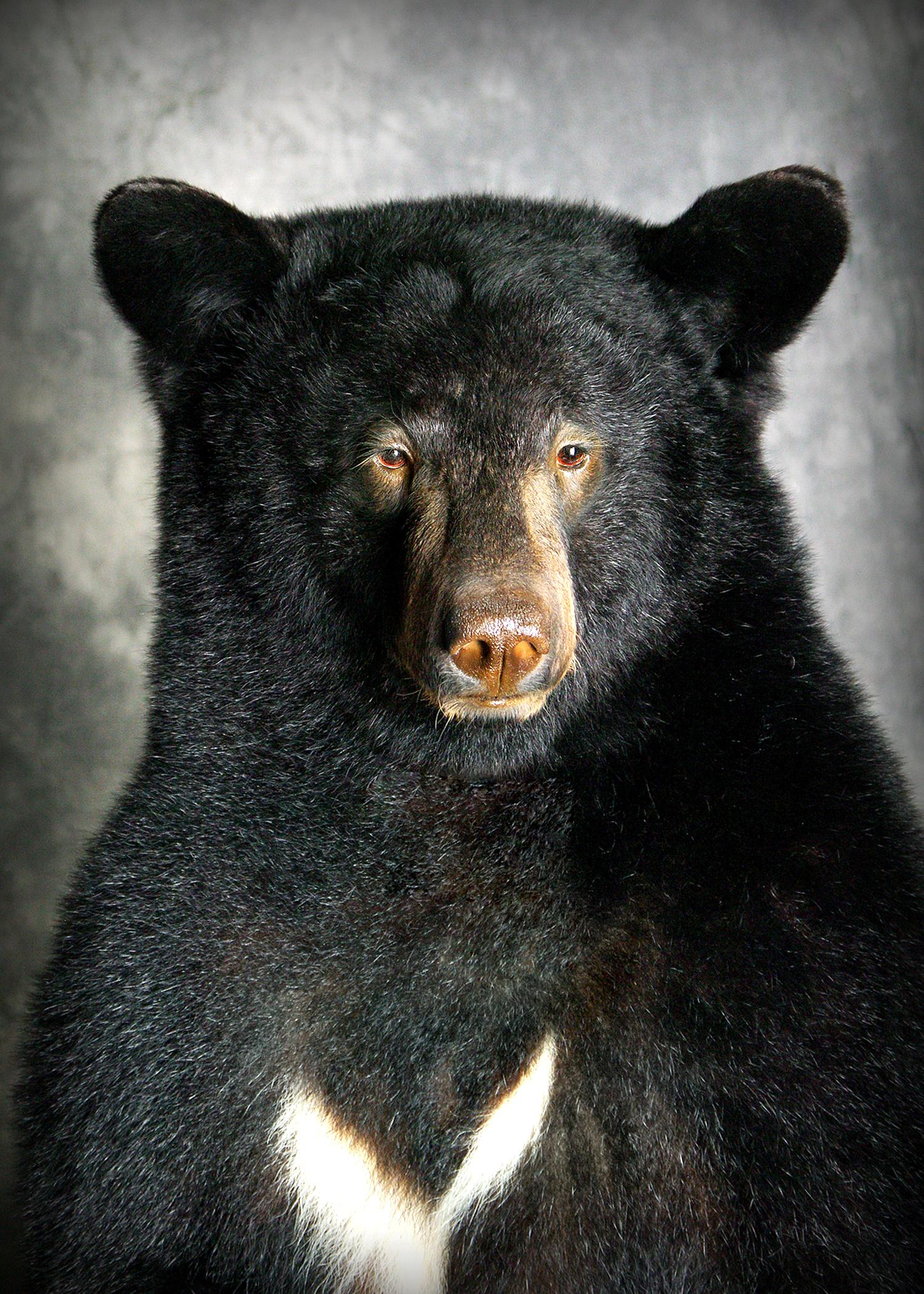 40 Coastal Black Bear