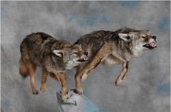 262-two-coyotes