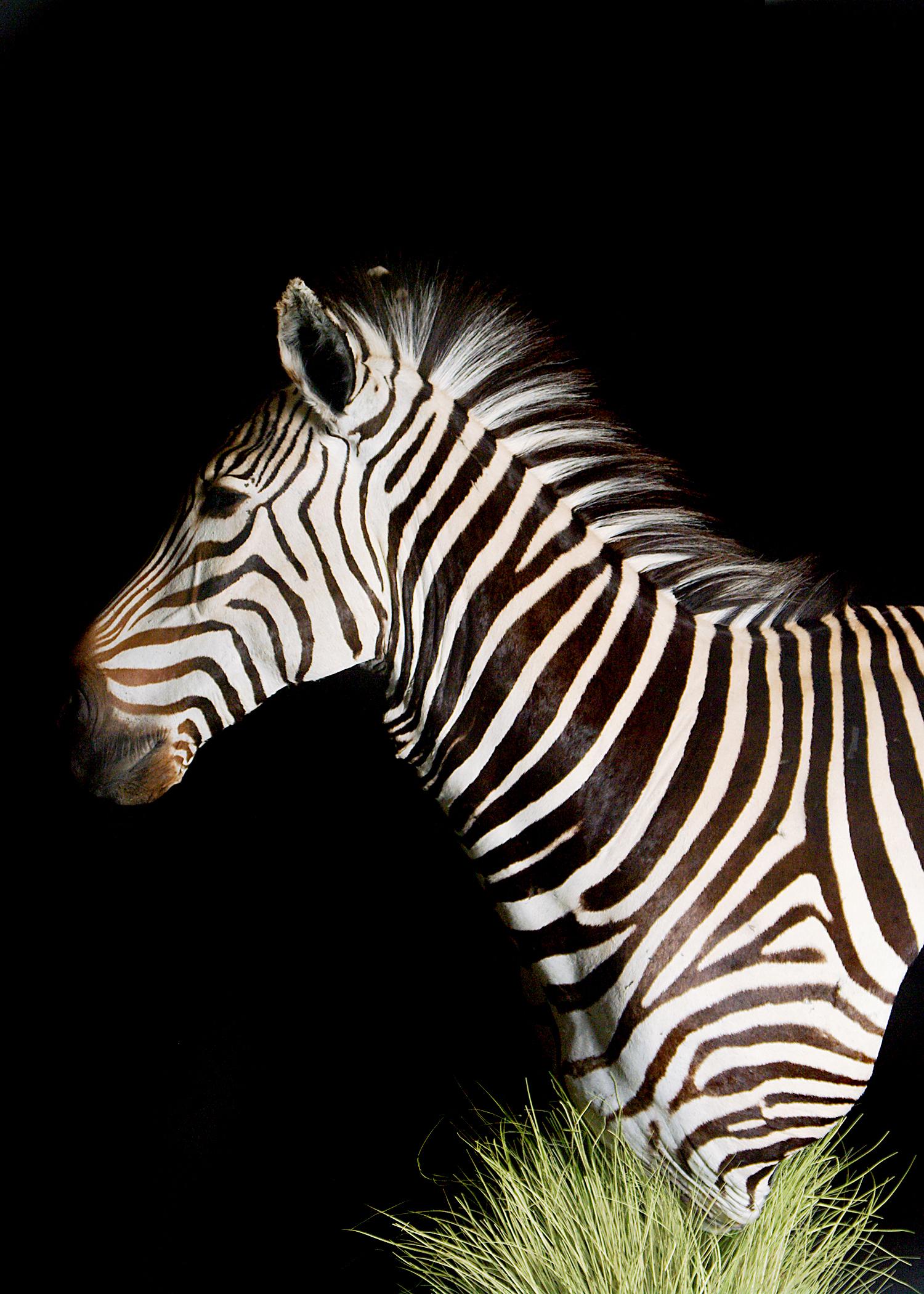 8 Zebra