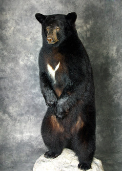 38 Coastal Black Bear