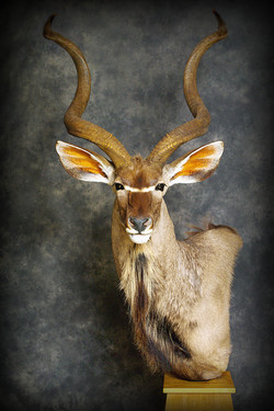 11 Kudu