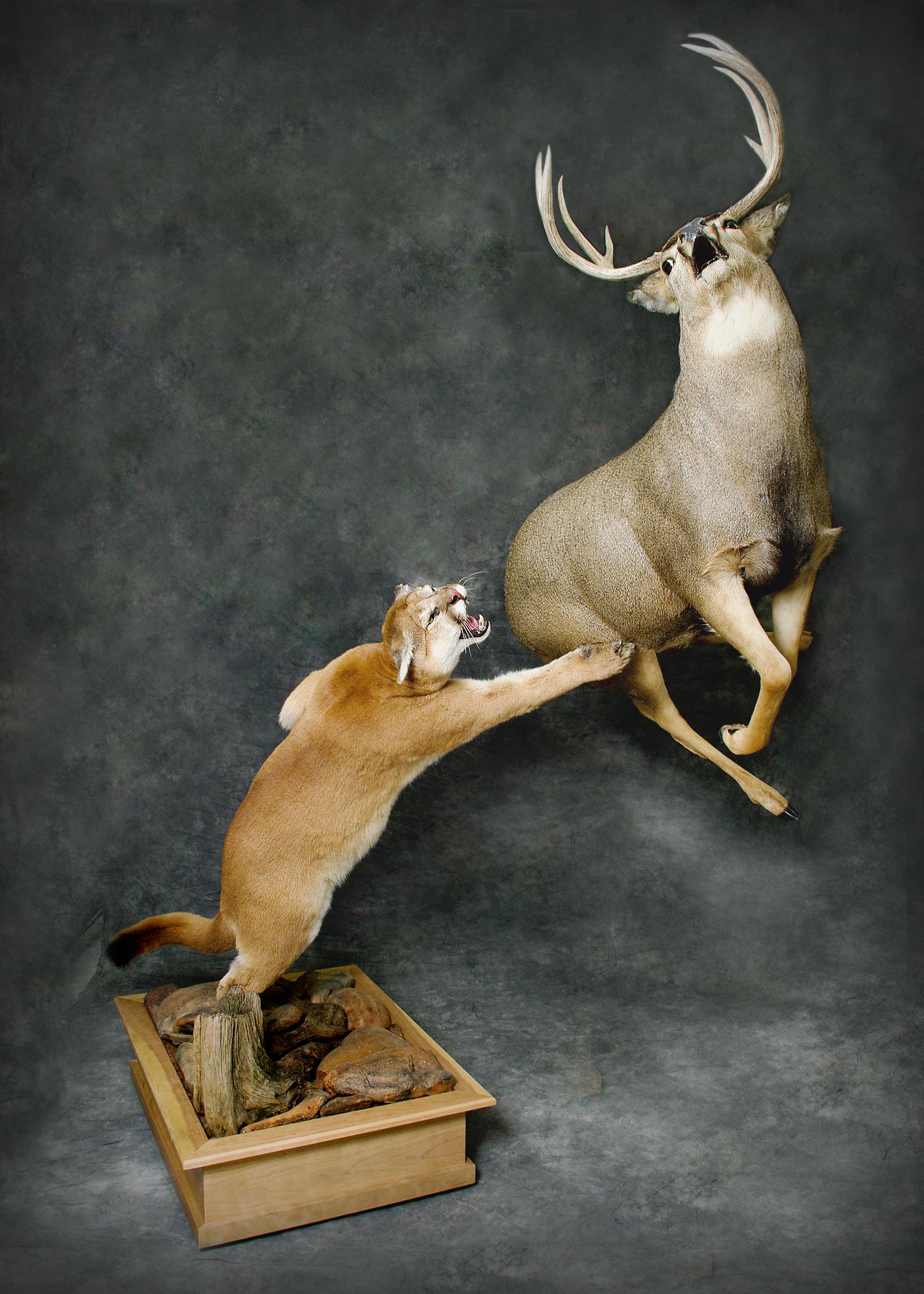 24 Mountain Lion | Mule Deer