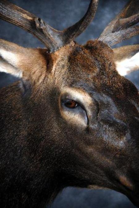 38 Elk