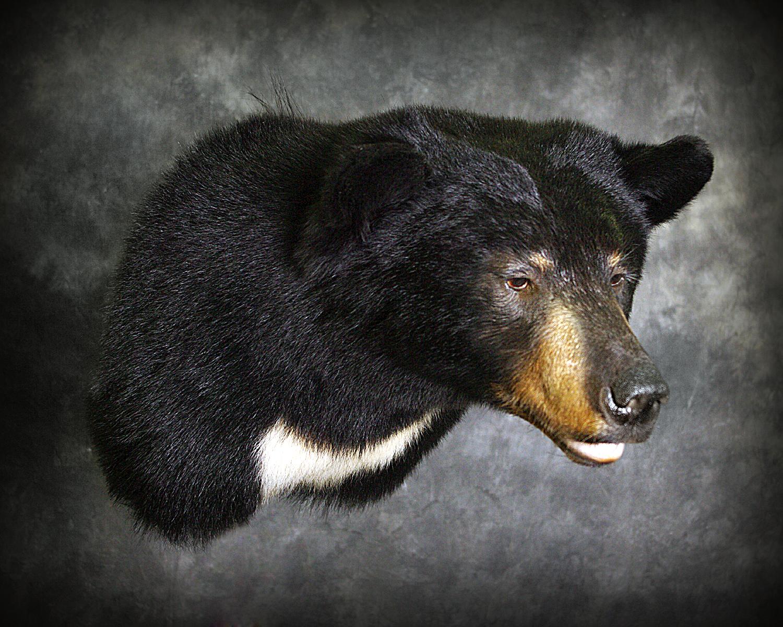 20 Coastal Black Bear