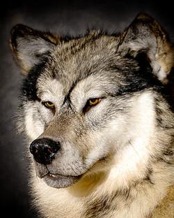20 Arctic Wolf