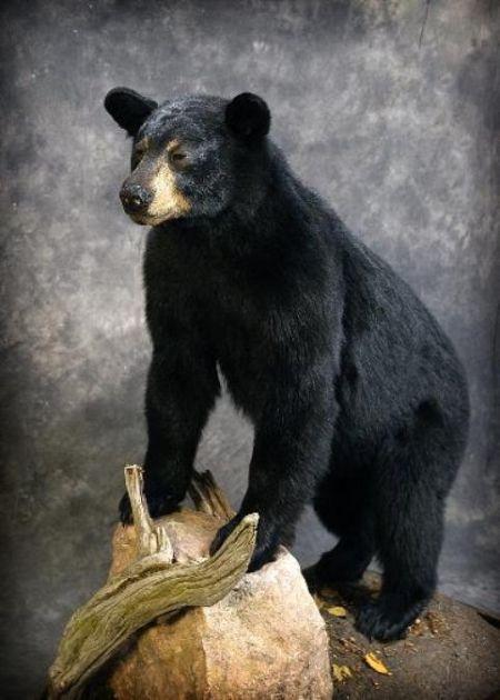 59 American Black Bear