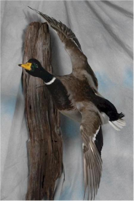 20 Mallard Duck