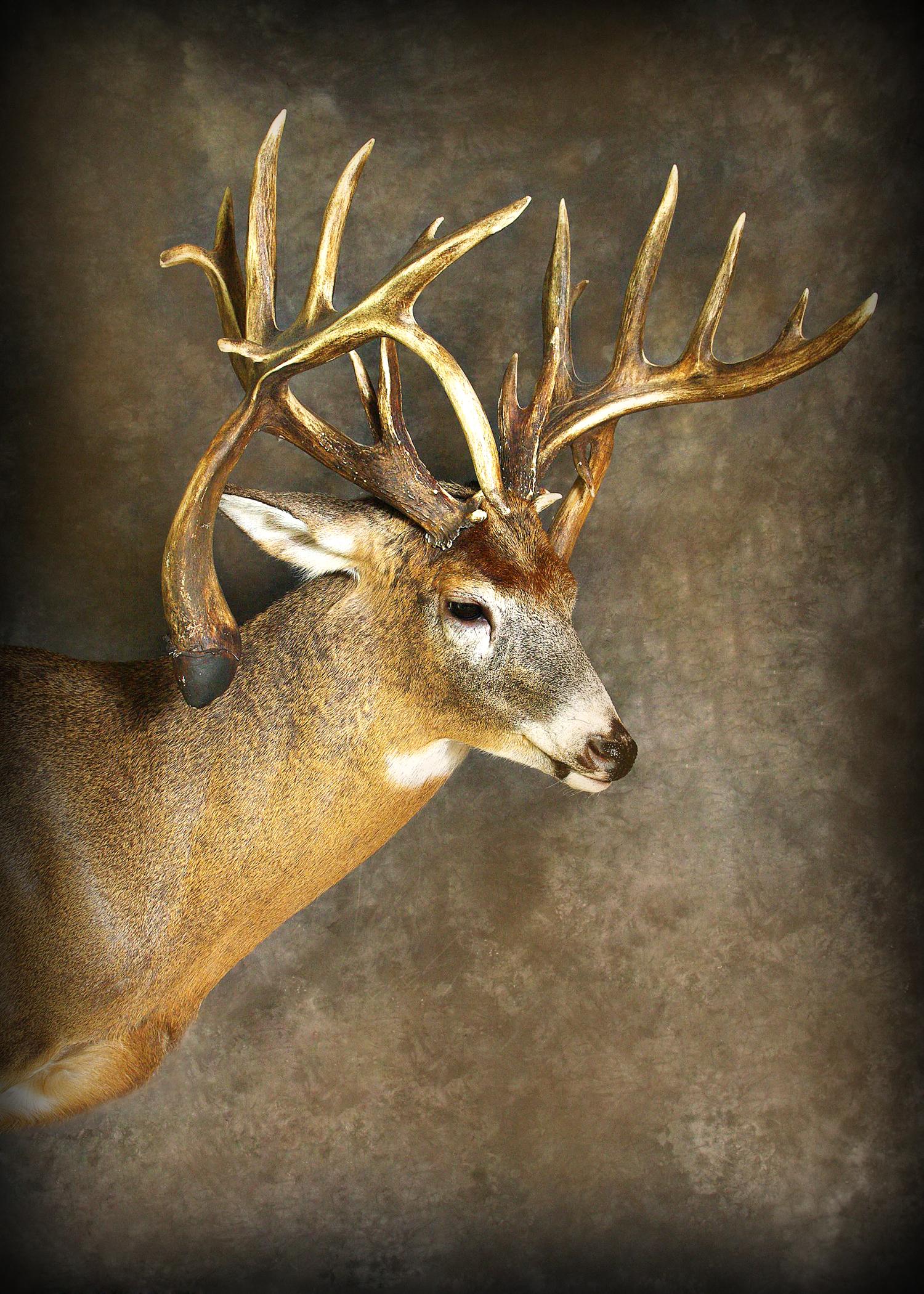 32 Double Droptine Buck