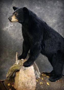 60 American Black Bear