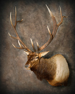 5 Wipiti | Elk