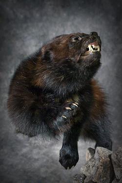 8 Wolverine | Wolf