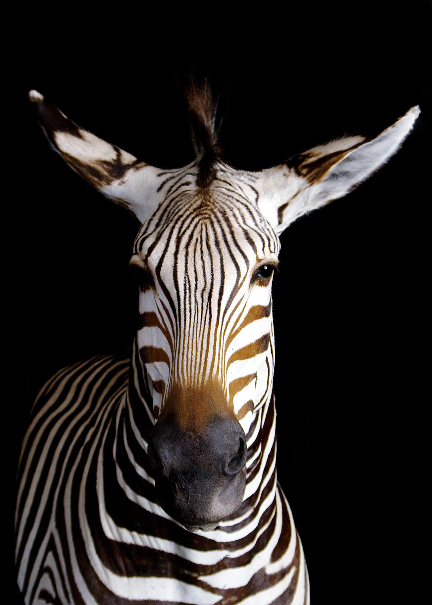 45 Zebra