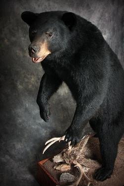 56 American Black Bear
