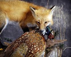 30 Fox | Pheasant