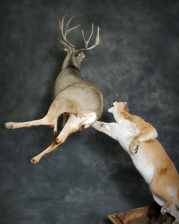 26 Mountain Lion | Mule Deer