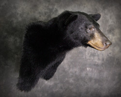 17 Black Bear