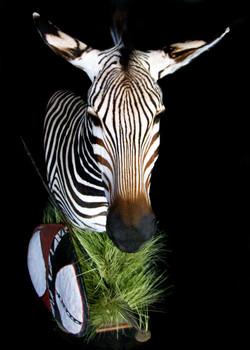 41 Zebra