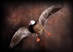 18 Goose