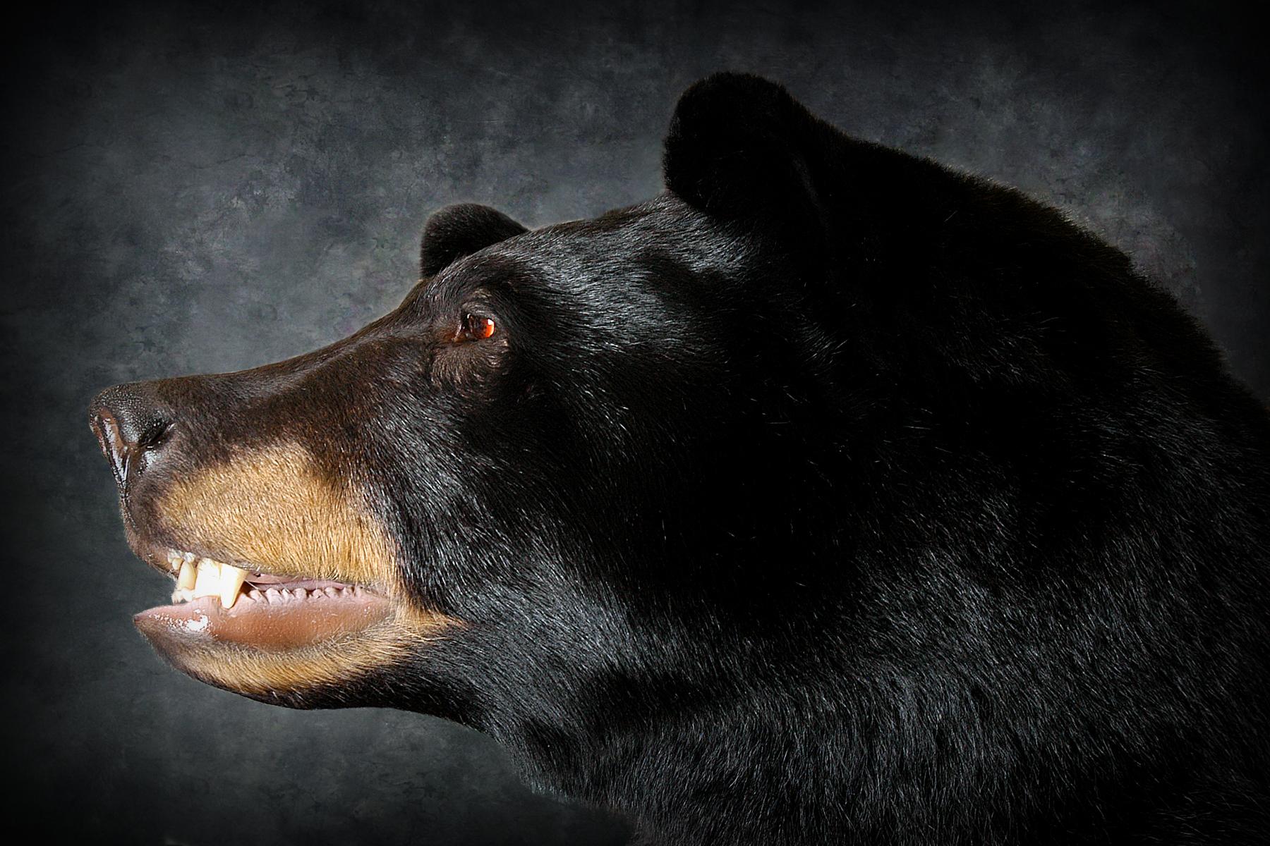 9 Michigan Black Bear