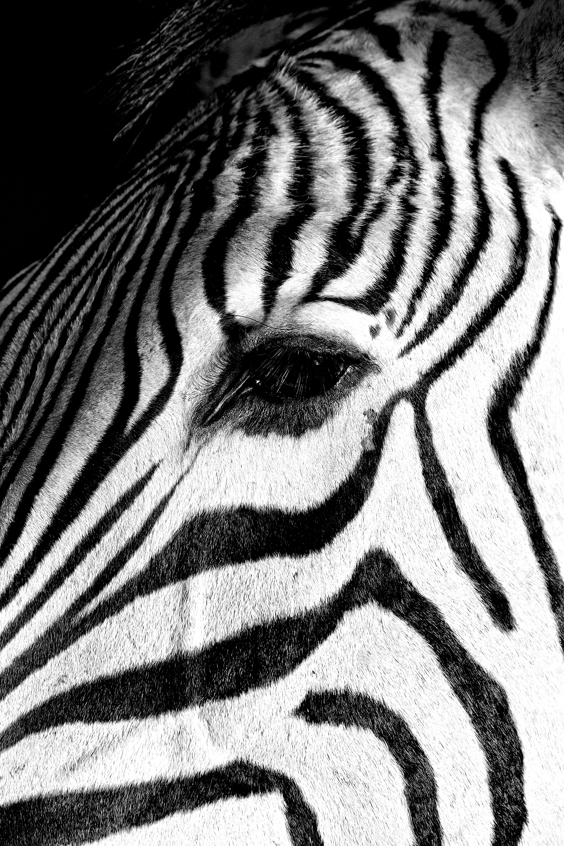 49 Zebra