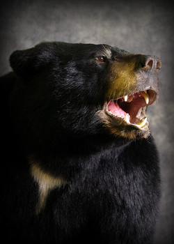 15 Coastal Black Bear