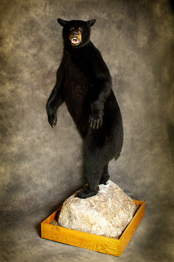 43 American Black Bear