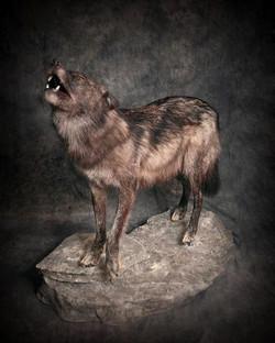 146-wolfe