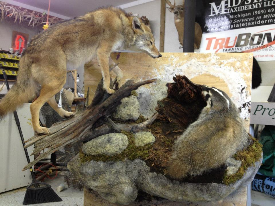 7 Coyote Badger Scene