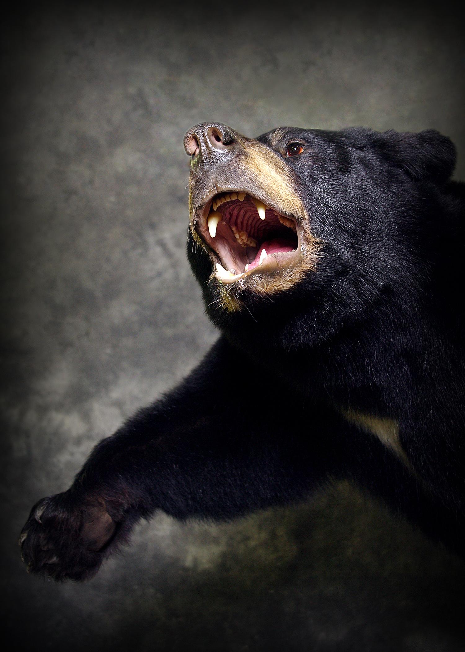 14 Coastal Black Bear