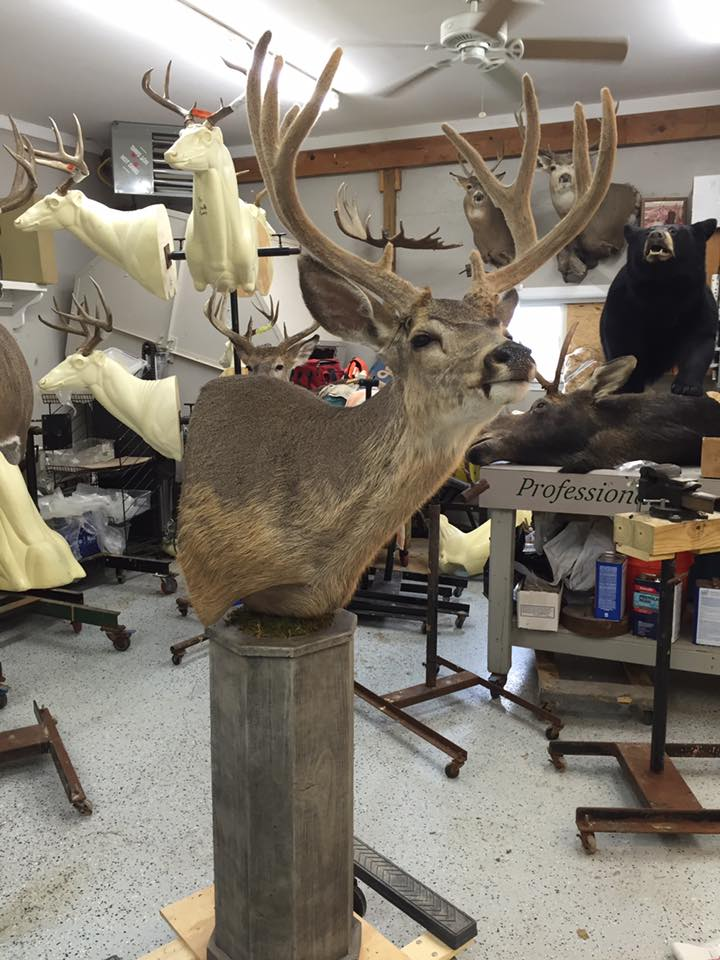 18 Muledeer on Velvet Pedestal