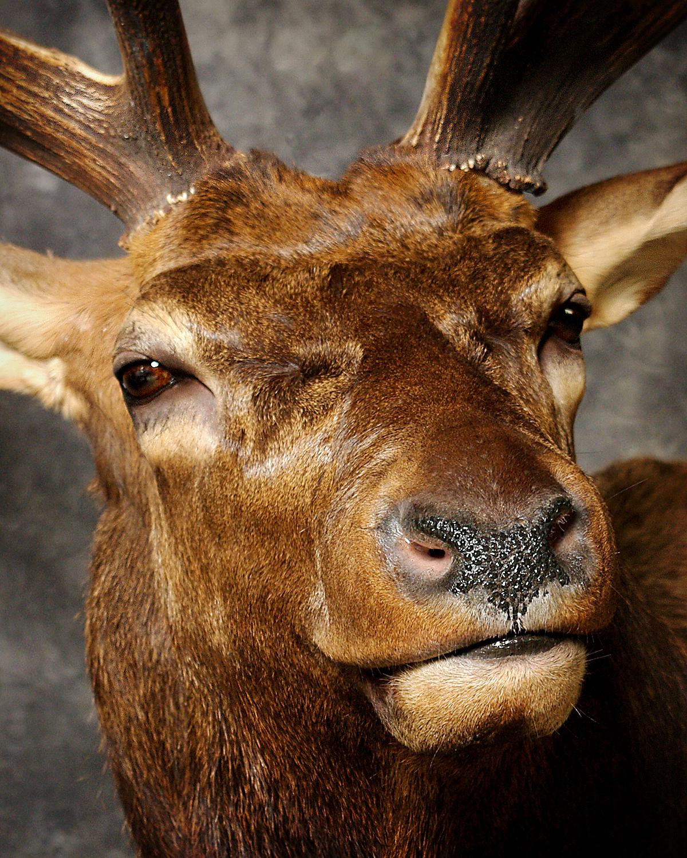17 Elk