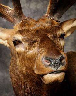 7 Wipiti | Elk