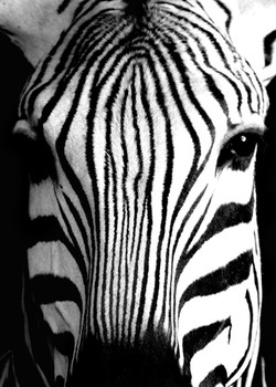 48 Zebra