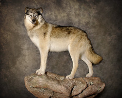 18 Arctic Wolf